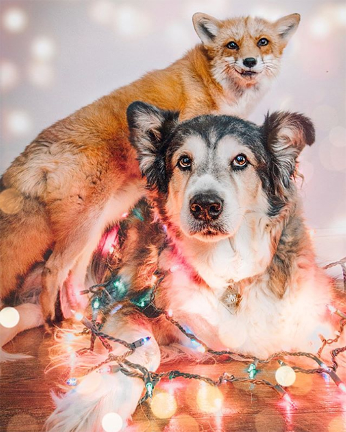 dog and fox playing with christmas lights