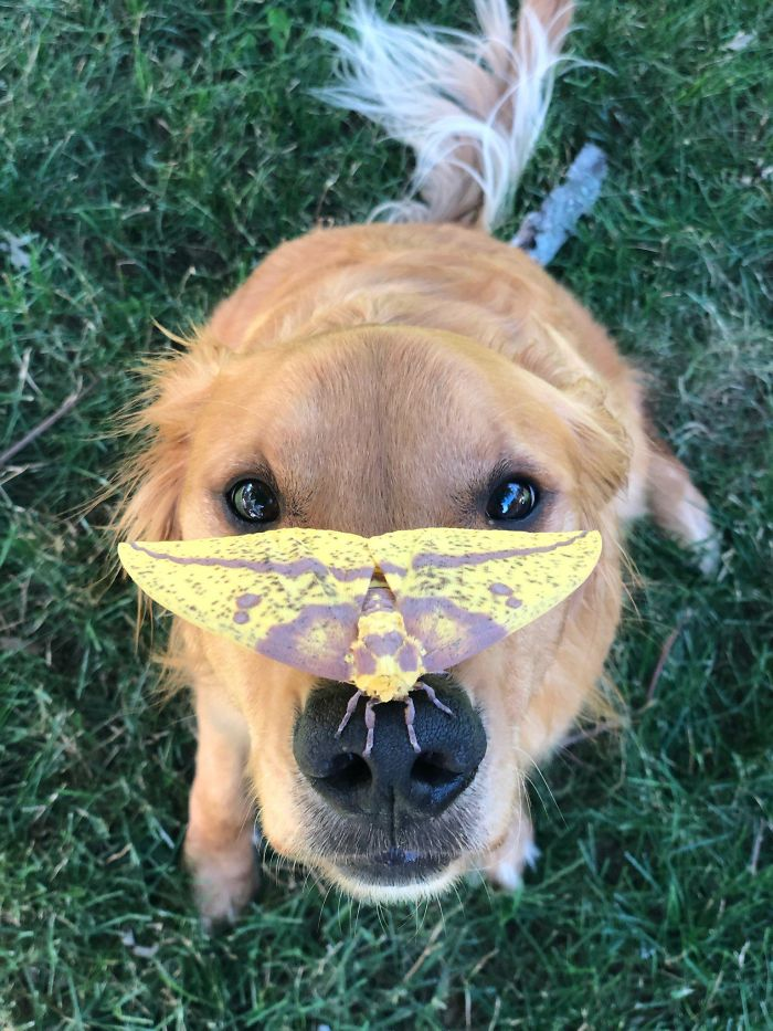 dog found a large moth