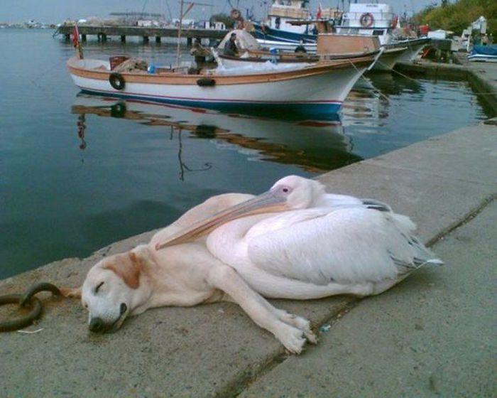 dog pelican friendship