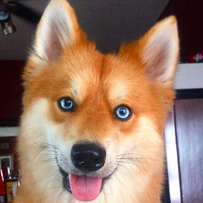 dog that looks like fox