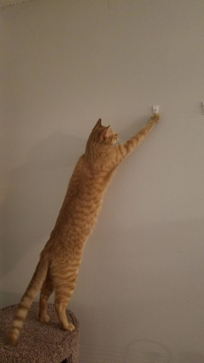 flexible kitties in hilarious positions longcat