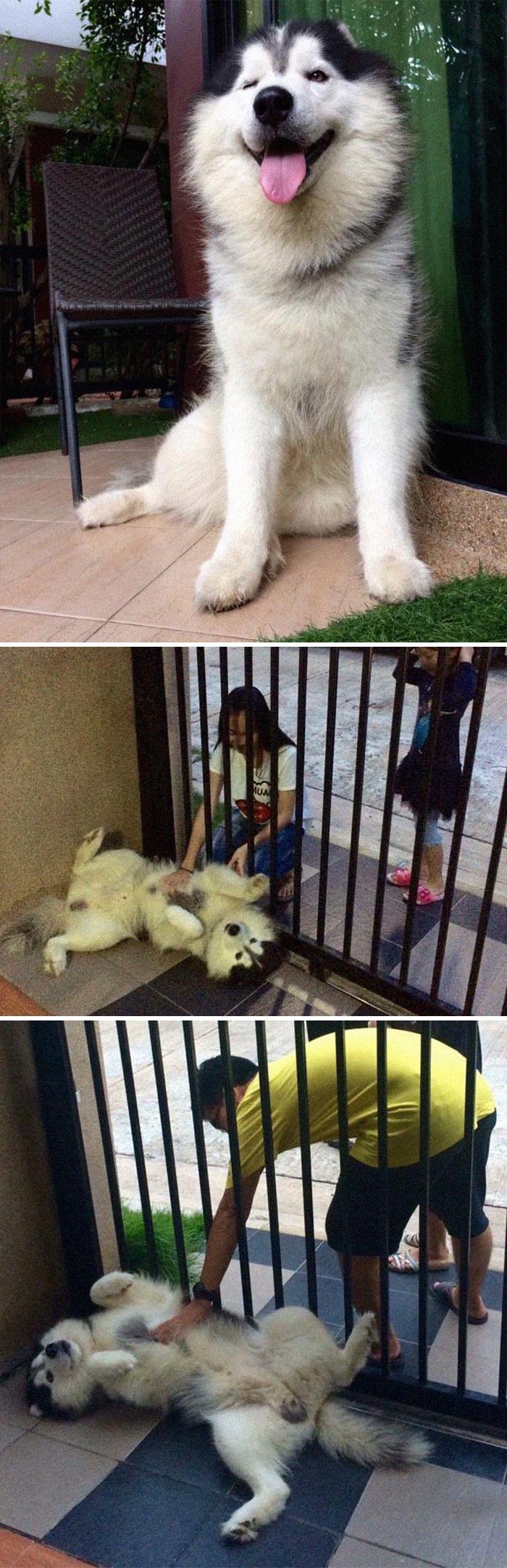 friendly guard dog loves belly rub