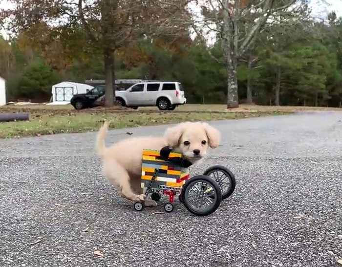 gracie disabled puppy with lego wheelchair