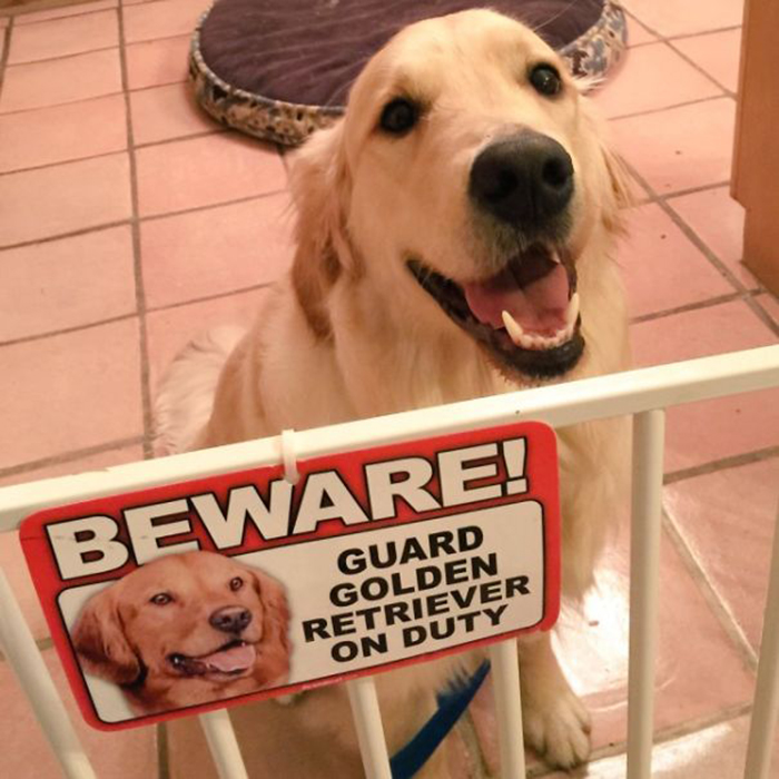 guard golden retriever on duty