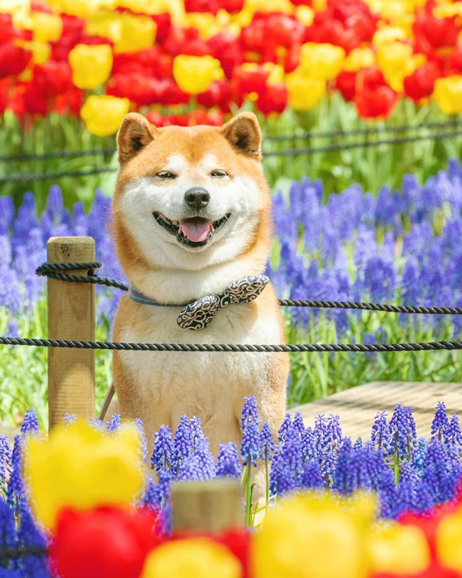 hachi among lavenders and tulips