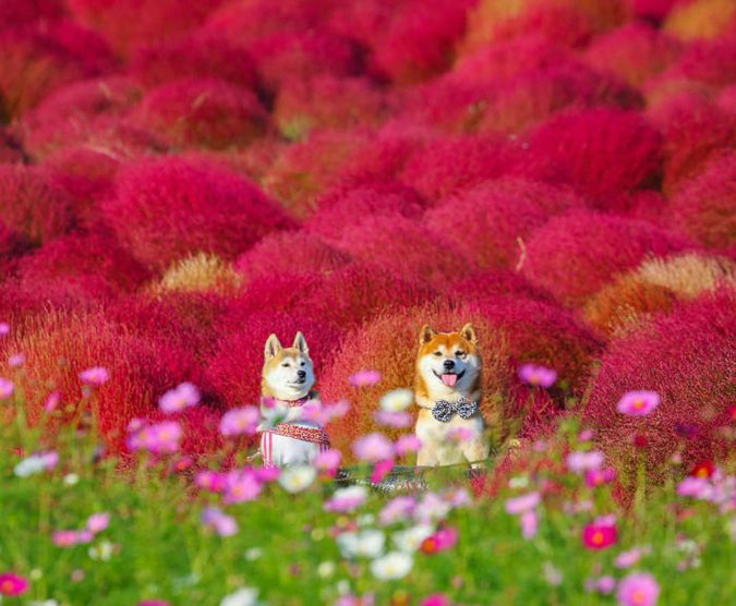 hachi and a friend sit between kochia and cosmos plants