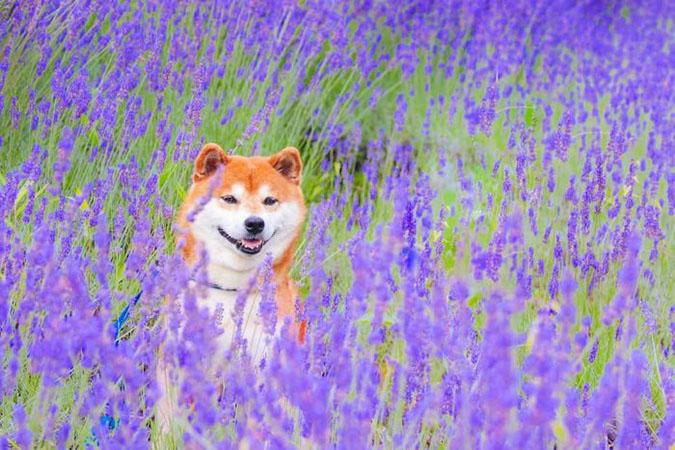 hachi peers from stalks of purple flowers