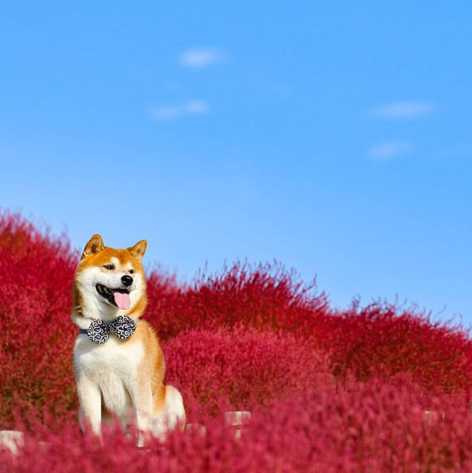 hachi sits in the middle of koachi grass