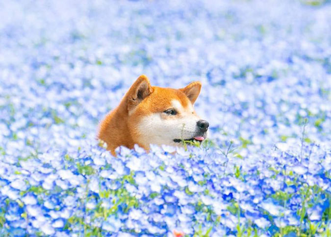 hachi the shiba inu pokes the tip of his tongue out while he walks through a field of blue flowers