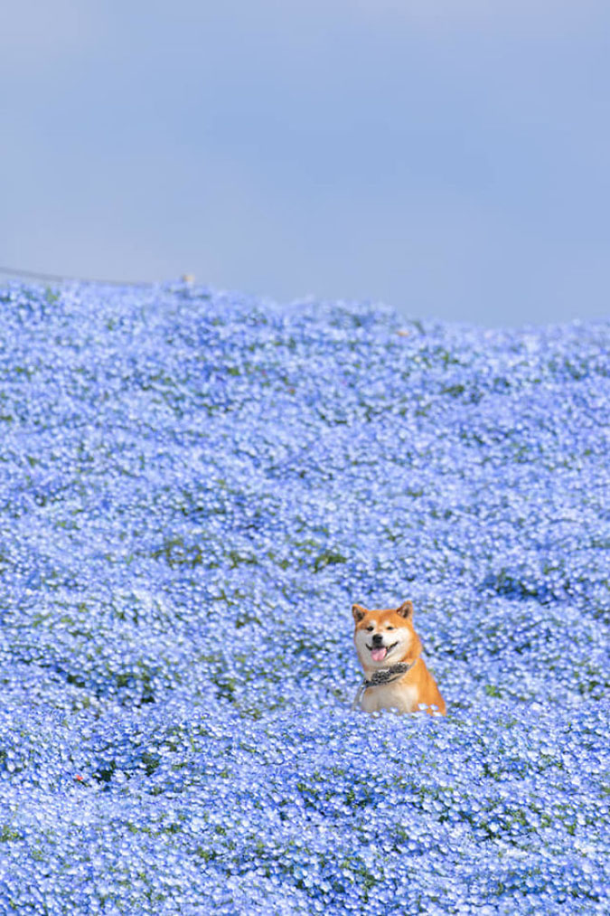 hachi the shiba inu sticks his tongue out while in a sea of blue flowers
