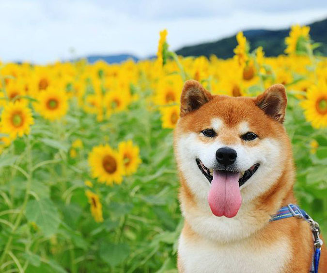 happy hachi with sunflowers in the background