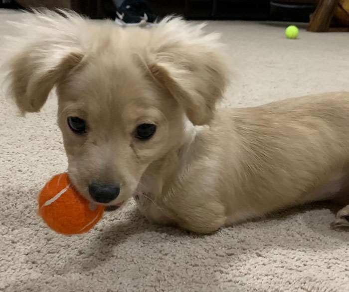 limbless puppy plays with ball