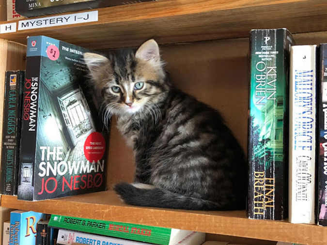 maine coon kitten occupies some free space on a book shelf