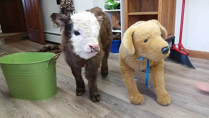 mini cow indoor pet