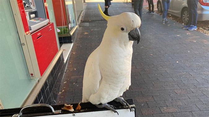 mishievous cockatoo
