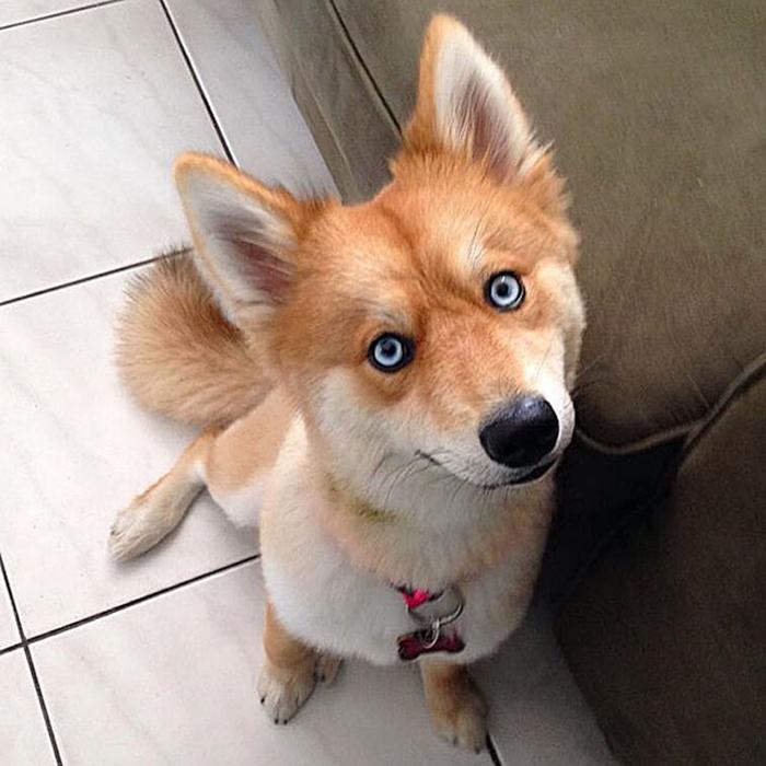 mya pomeranian-husky blue eyes
