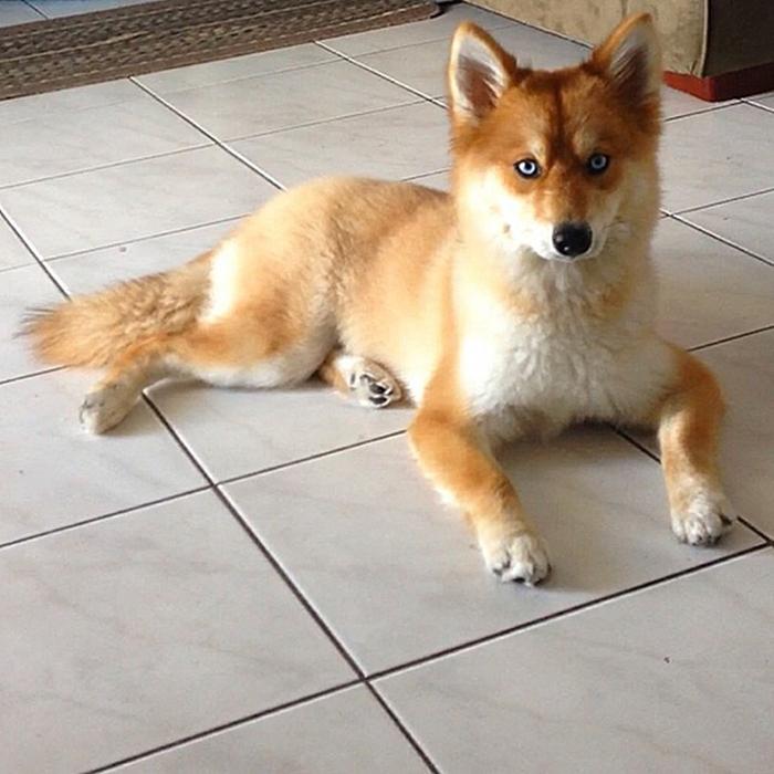 mya the dog that looks like a fox