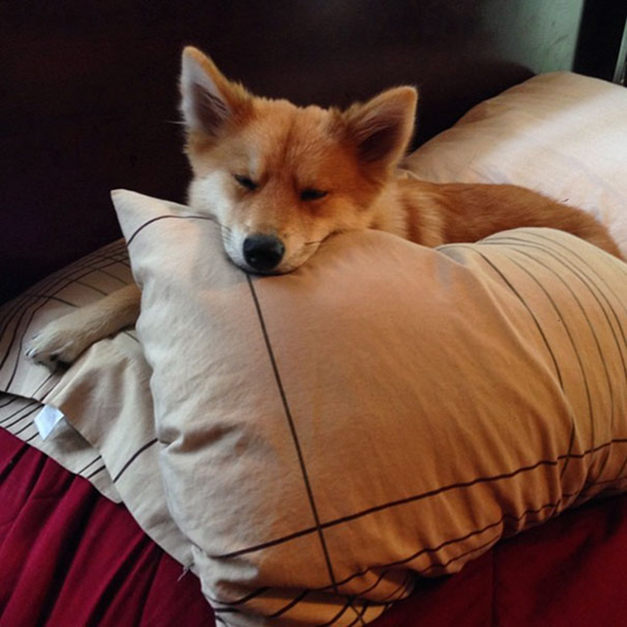 mya the fox-like dog sleeping