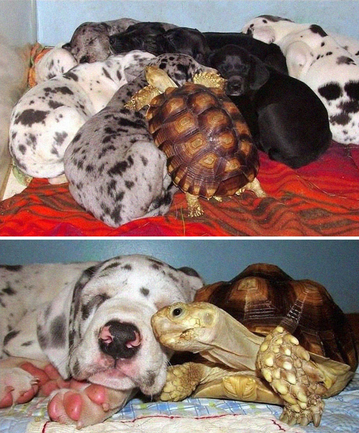 rescued tortoise joins dog litter