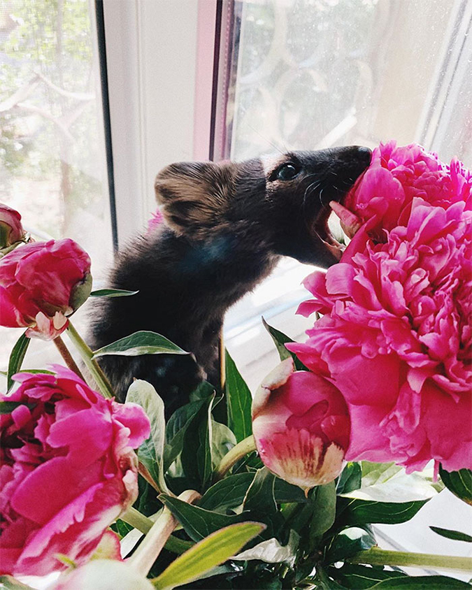 sable tries to eat a peony