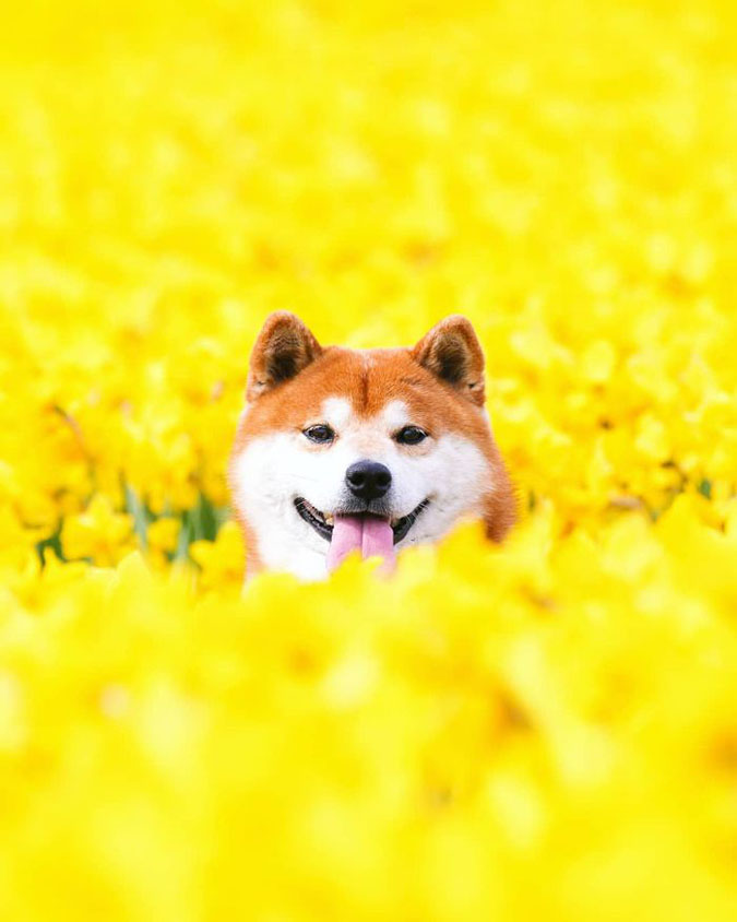 shiba inu pops up in yellow flower field