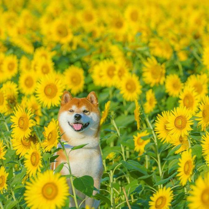 shiba inu sits amongst sunflowers
