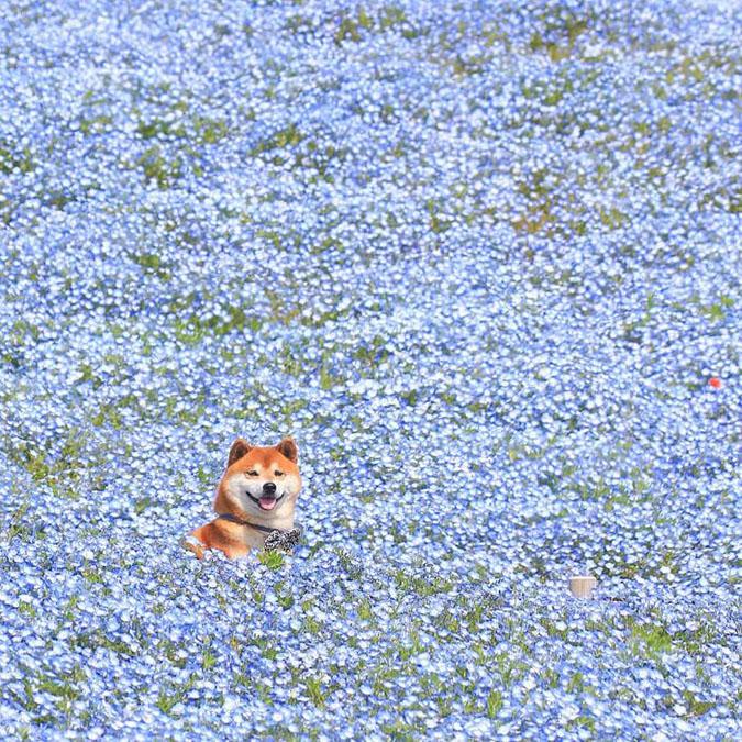 surreal image of shiba inu among flowers