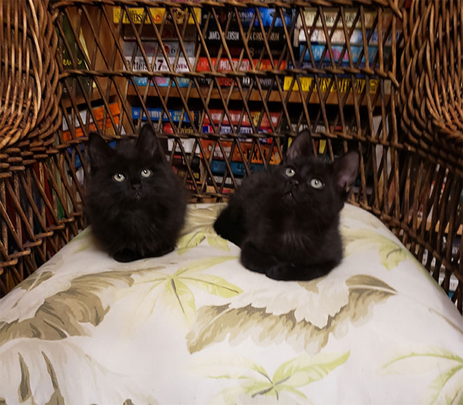 two black cats rest on a cushioned wicker chair in the bookstore