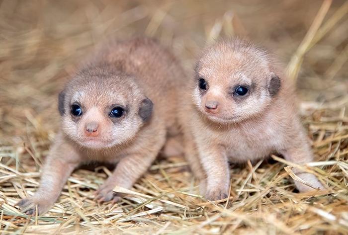 zoo miami baby meerkats