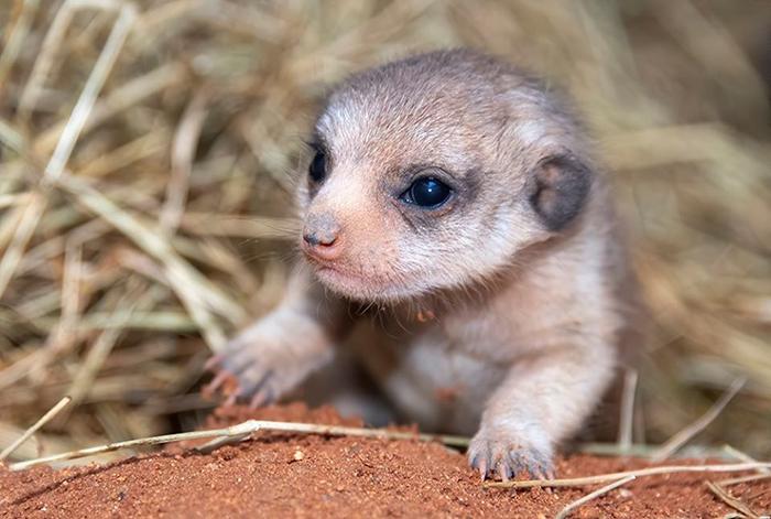 zoo miami newborn mongoose