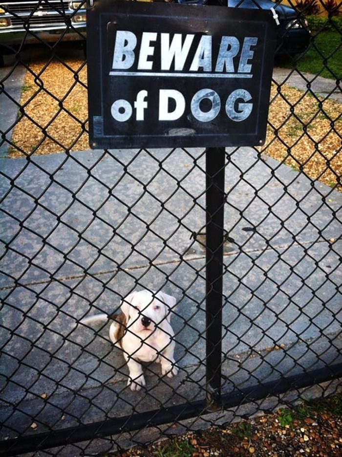 Adorable Dog Behind Gate with Beware of Attack Dog Sign