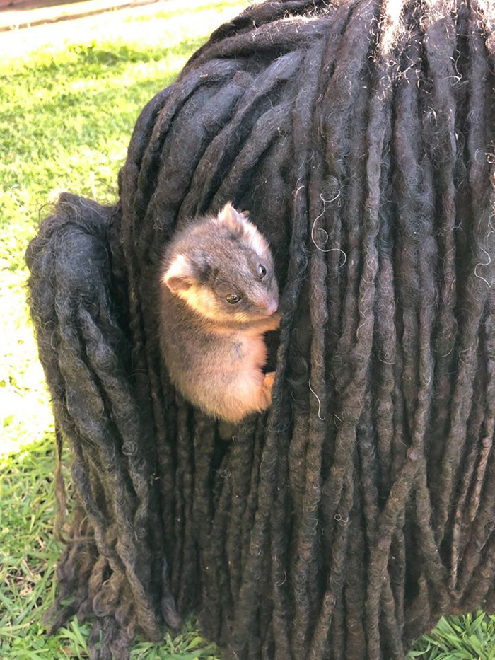 Baby Possum Clinging onto the Back of a Black Puli Dog