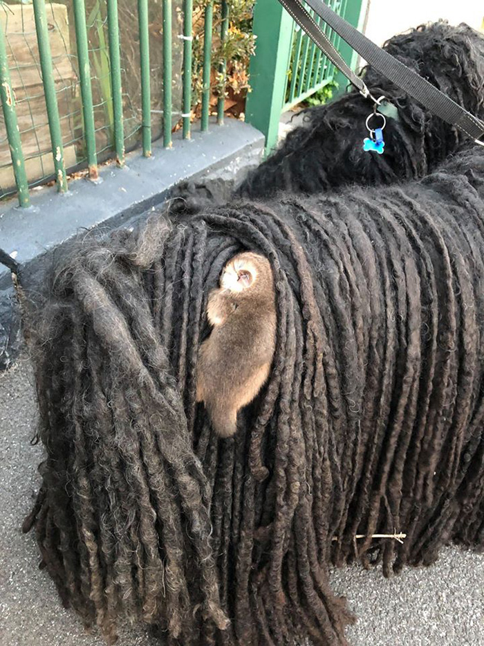 Baby Possum Clinging onto the Back of a Puli Dog