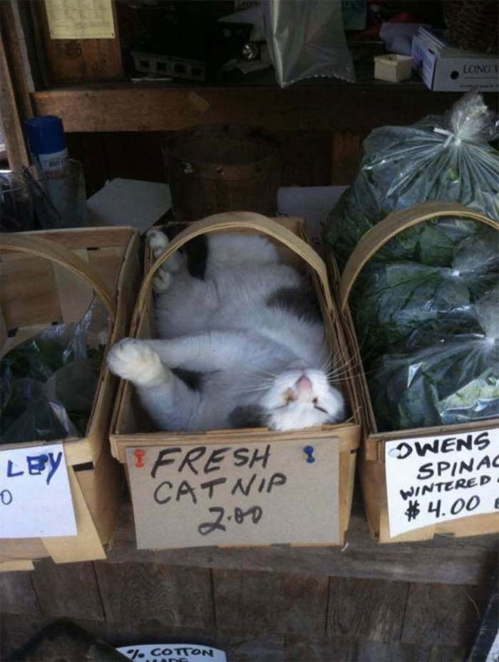Cat Sleeping Inside a Basket of Fresh Catnip