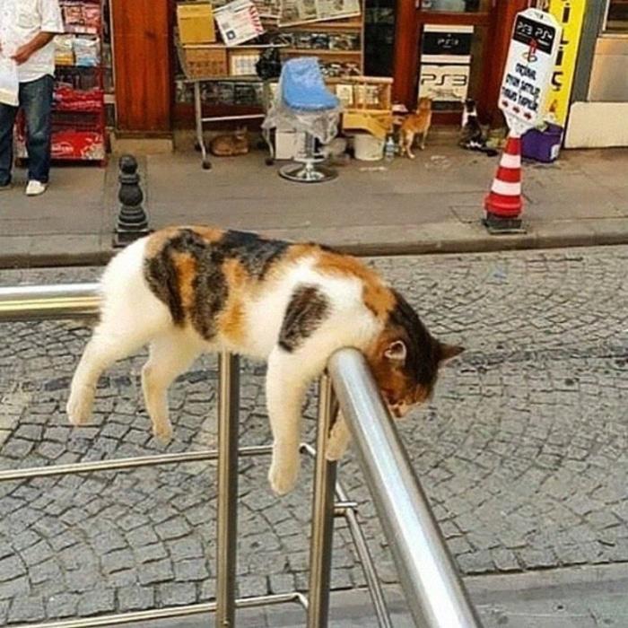 Cat Sleeping on Handrails