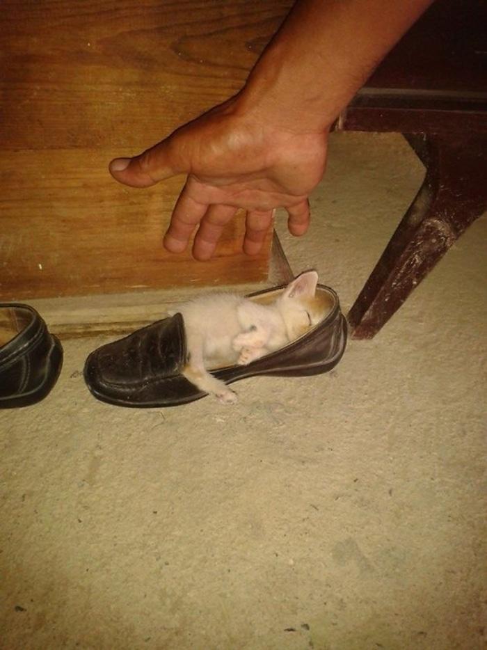 Kitten Sleeping Inside a Shoe