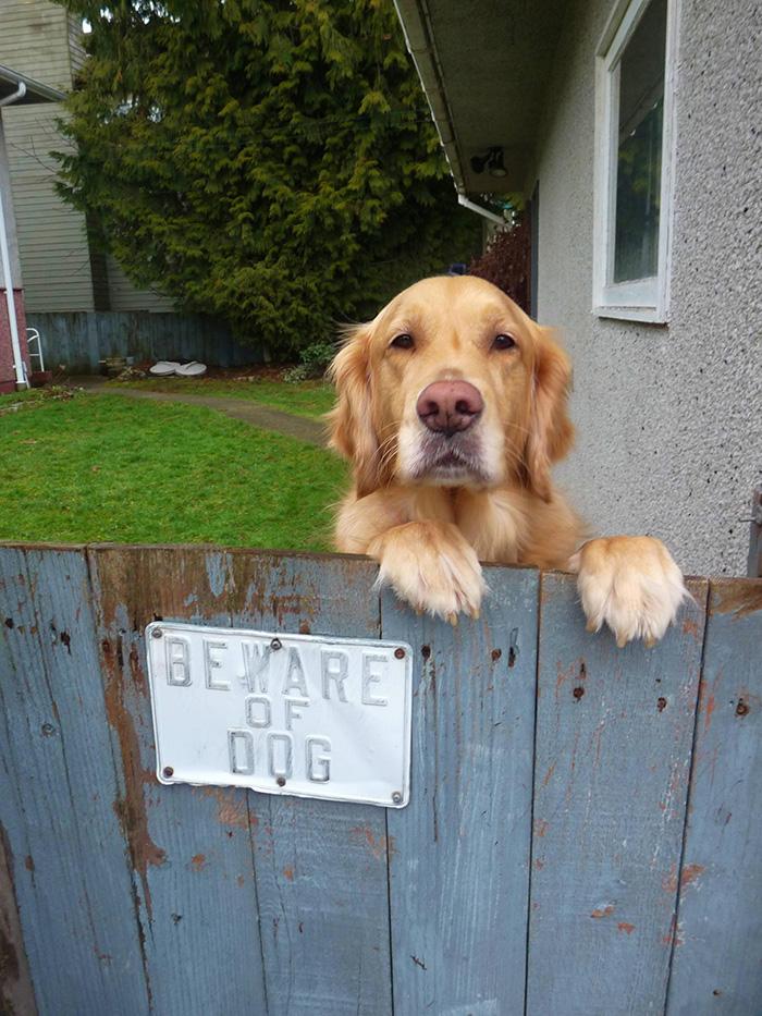 Pooch Peeking Over Fence