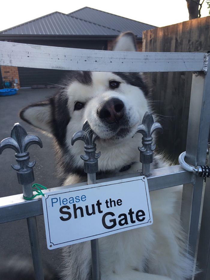 Pooch Peeking Over Gate with Please Shut the Gate Sign