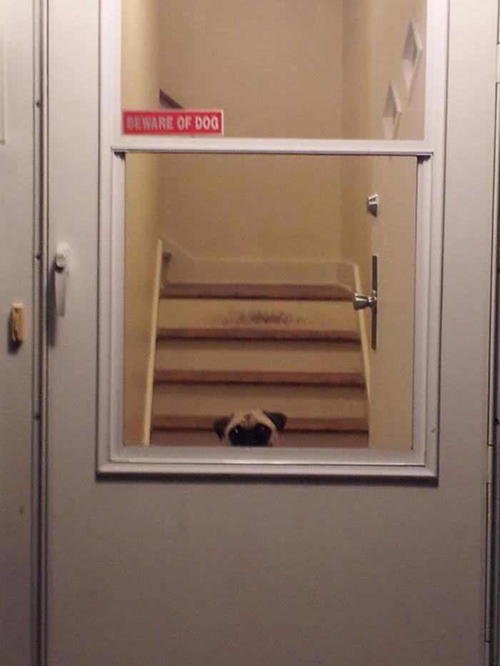 Pug Peeking Over Door Window