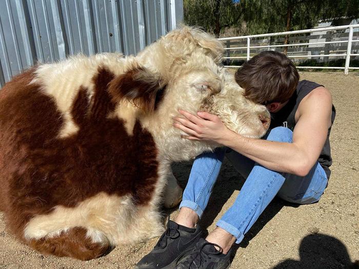 Rescue Cow Pet Adoption Photo