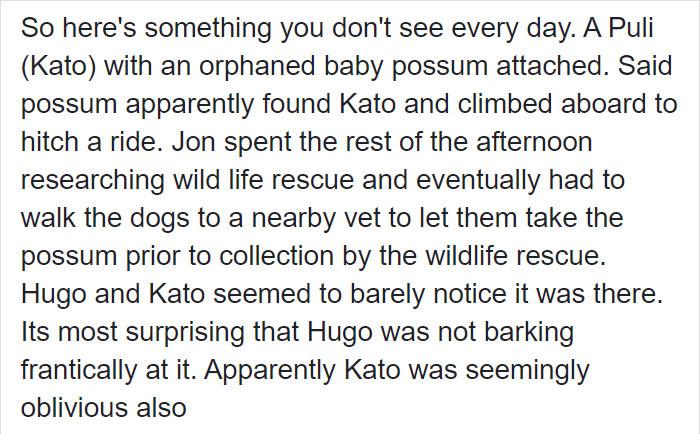 Sally Watkinson Facebook Post Baby Possum Continuation