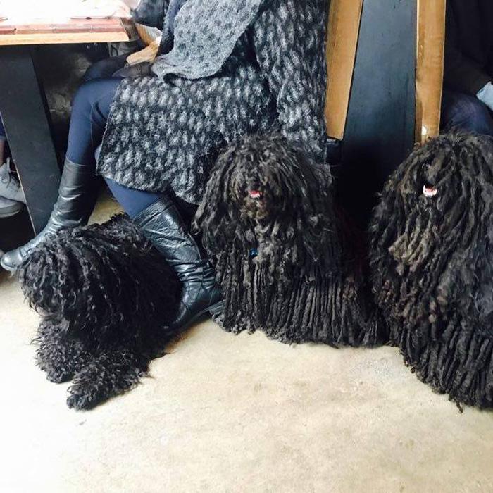 Sally Watkinson's Puli Dogs