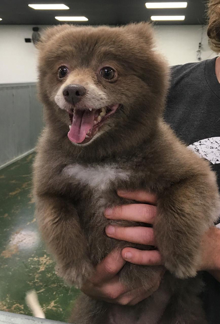 adorable puppies bear lookalike