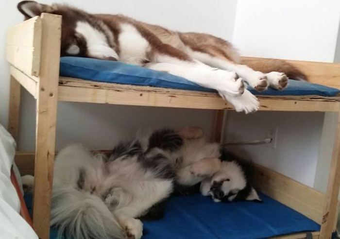 alaskan malamutes double deck bed