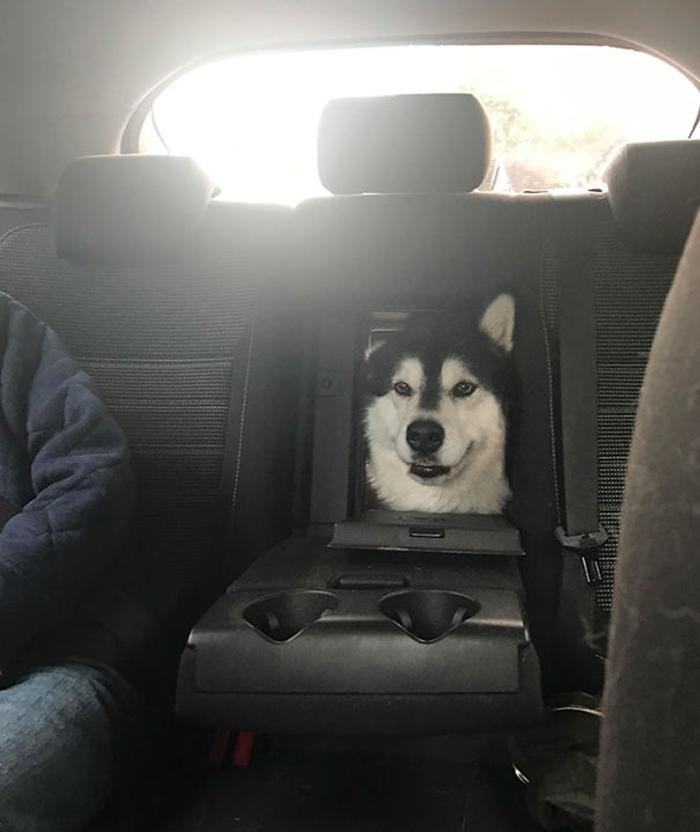 alaskan malamutes peeking car