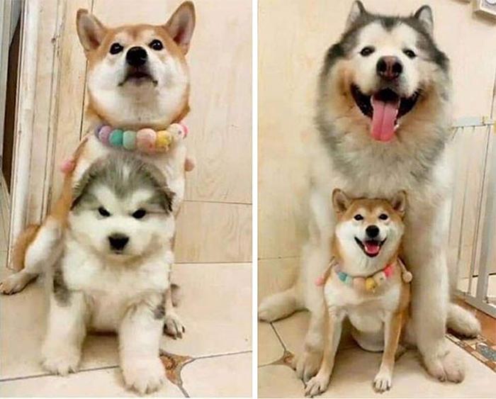 alaskan malamutes puppy grows