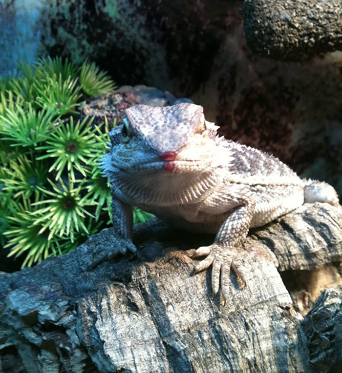 animals eating berries bearded dragon