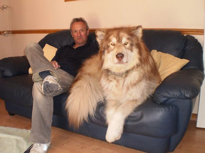 big fluffy dog on the couch