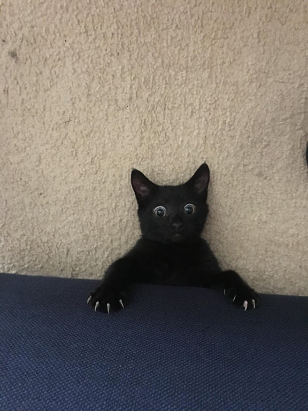 black cat emerges from underneath owner's couch