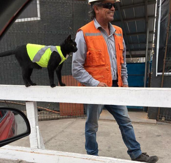 construction workers put a high visibility jacket on this cat